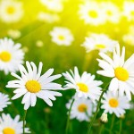 Flowers-Wallpapers-archive-Flowers-White-Chamomiles-HD-Wallpaper_web